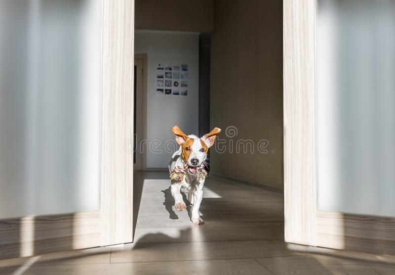 Dog with toy running at home. Puppy jack russell terrier.  stock photo