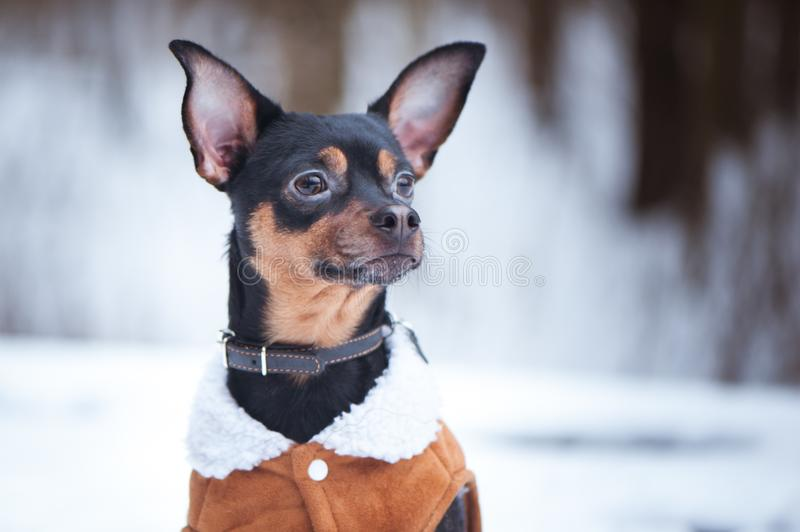 A dog, a toy terrier, a stylishly dressed little dog in sheepskin coat, against the backdrop of winter. Clothes for dogs. Place f royalty free stock images