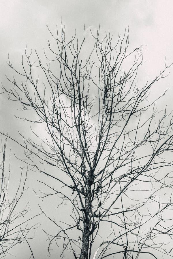 Dog trädet med svartvit ensam himmel för den molniga blickfasan arkivfoto