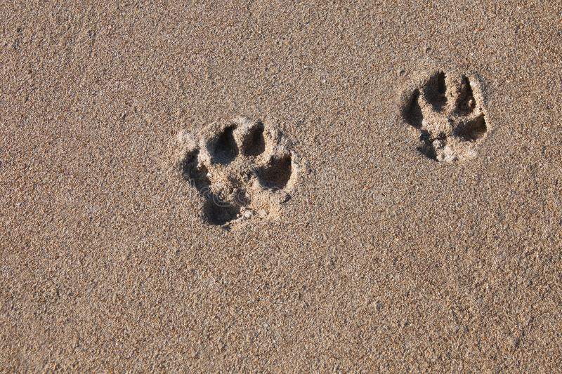 Dog tracks on the sea sand on the shore. Clear traces of the animal to the wet sea sand on the beach royalty free stock photos