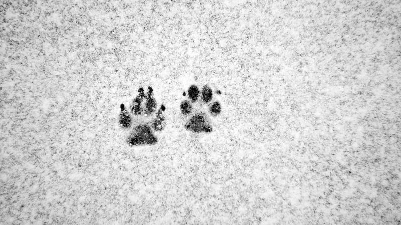 Dog tracks in the snow. Snowy forest ,photo of dogs paws left in the snow stock photo