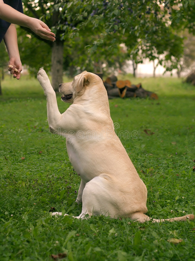 Download Dog Training stock photo. Image of shake, doggy, hands, class - 19378