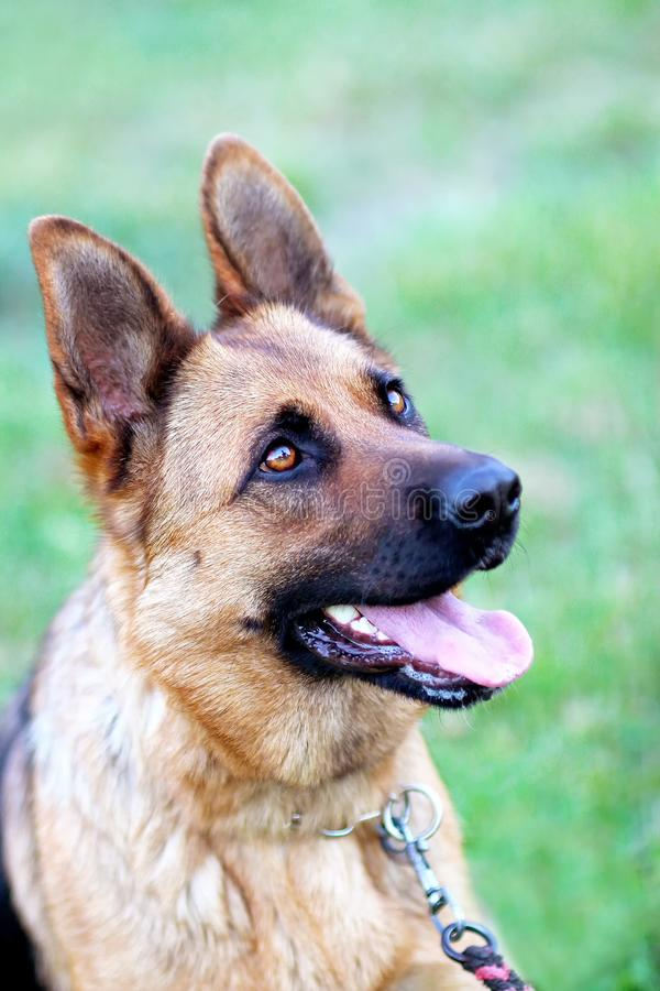 Dog training aport. And running and jumping in the park. It is germen shepherd stock photos