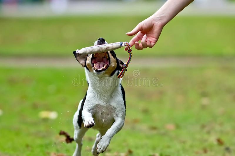 Dog tries to catch training dummy royalty free stock images