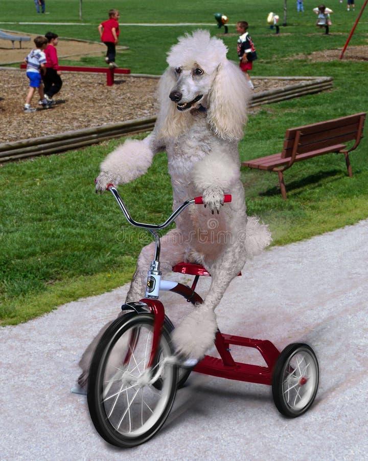 Dog on trike royalty free stock image