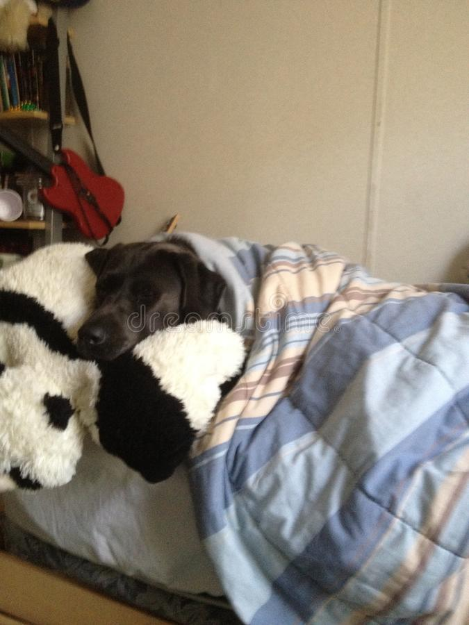 Dog tucked in stock photos