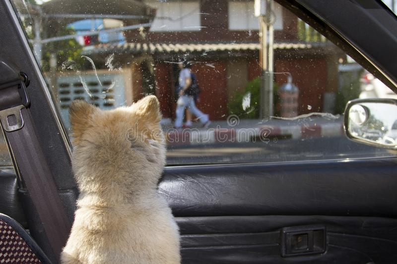 The dog turned back and looked outside the car window stock photo