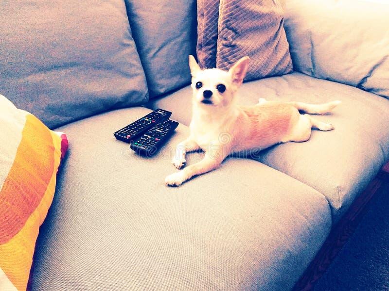 Dog tv, dog lying on sofa with tv controls. Chihuahua dog lying on sofa watching tv with tv controls royalty free stock photo