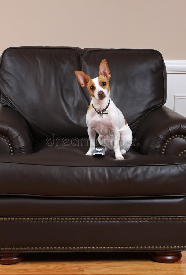 Dog with TV Remote. A cute terrier with a tv remote control acting as if he is watching television royalty free stock photography