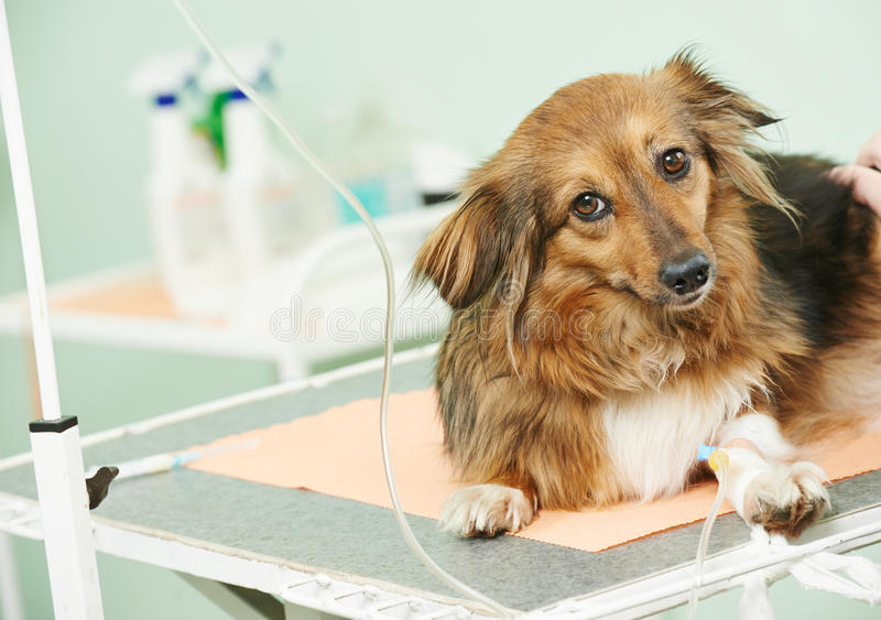 Dog under vaccination in clinic. Vaccine to the dog in veterinary clinic royalty free stock photography