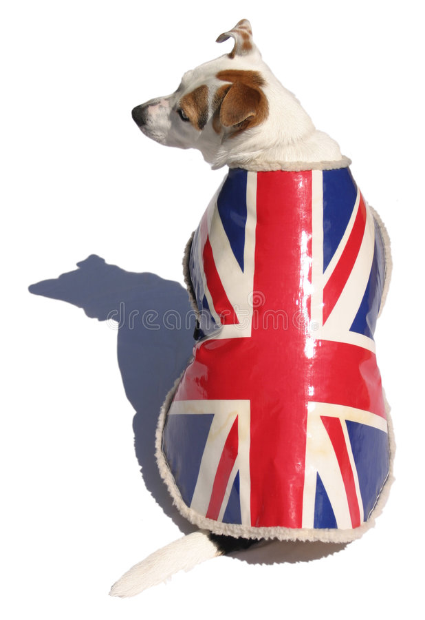 Download Dog in Union Jacket stock photo. Image of white, isolated - 163368