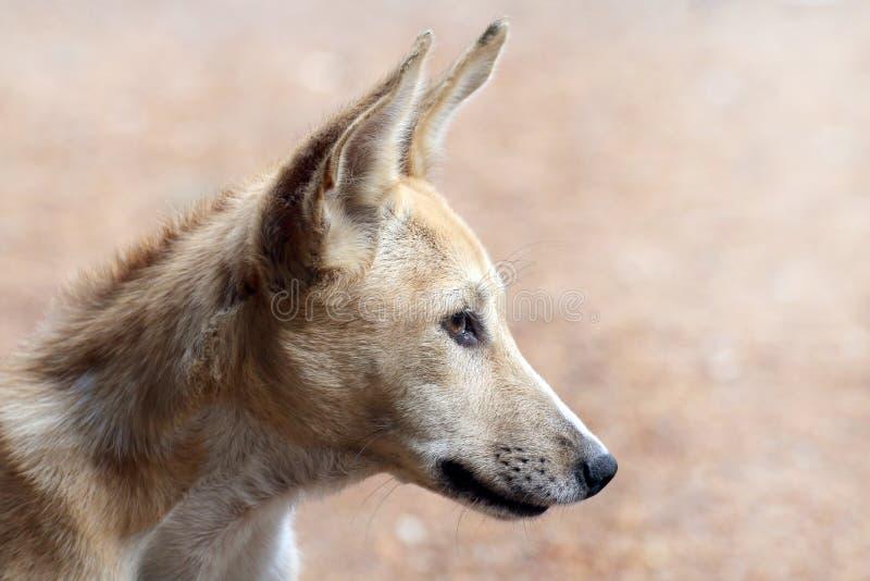 Dog upp den gulliga bruna hundframsidan, brunt slut för hundhuvud, den härliga thai ståenden för asia hundbrunt royaltyfria bilder