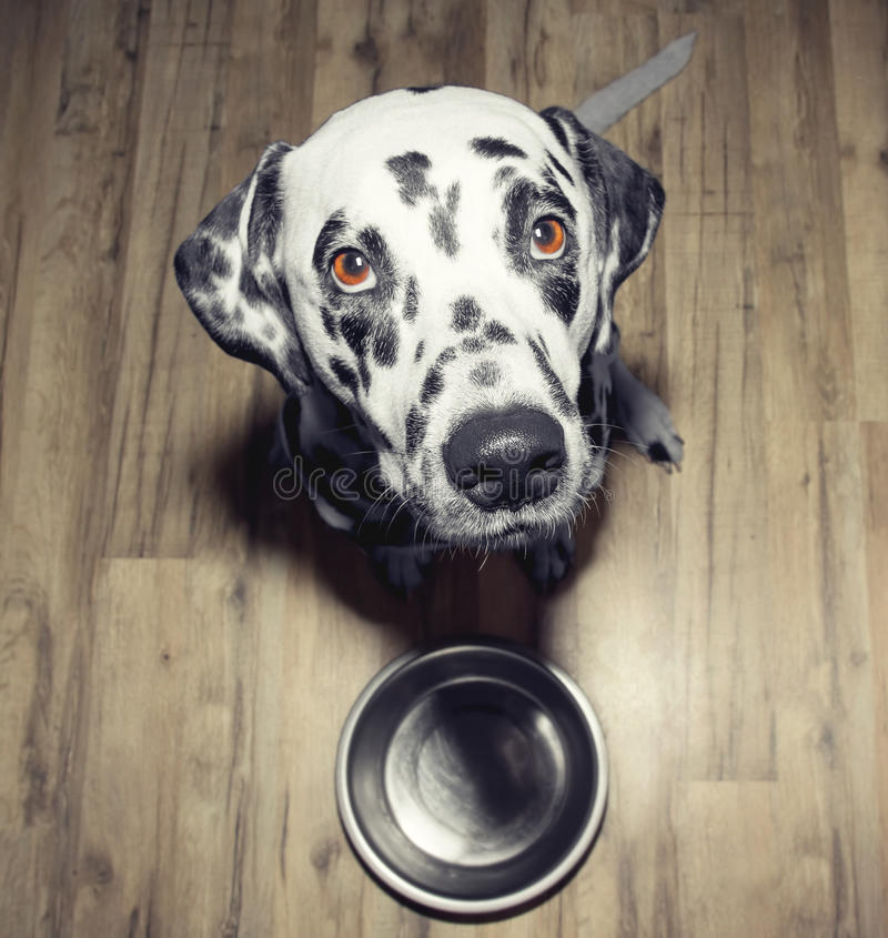 Dog is very hungry -- he is sitting next to the bowl royalty free stock photos