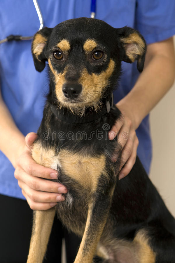Dog and vet stock images