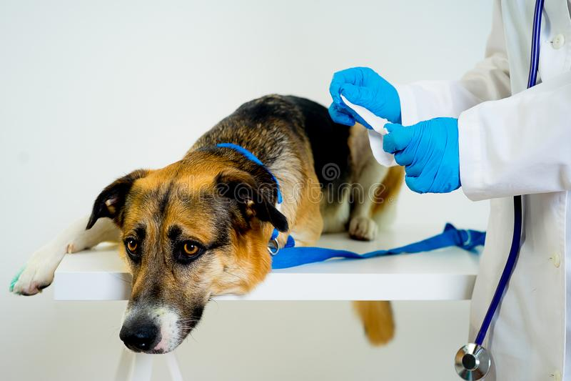 Dog at a vet. A portrait of a dog at a vet checkup stock photo