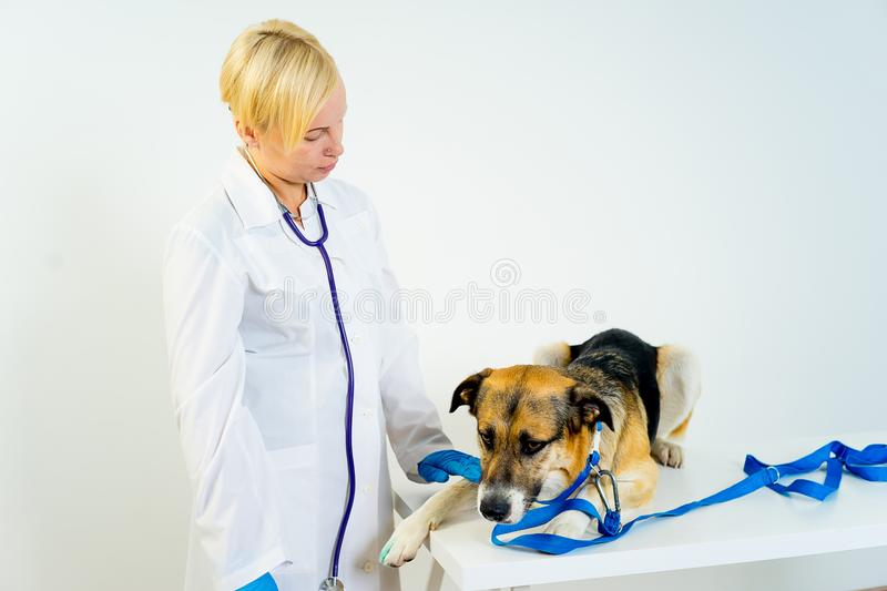 Dog at a vet. A portrait of a dog at a vet checkup royalty free stock images