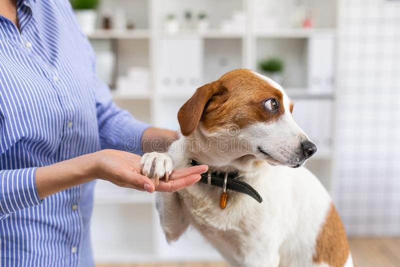 Dog in a veterinary clinic at the doctor`s office. The owner petting the dog. Close up. Soft focus. Dog in a veterinary clinic at the doctor`s office. The owner stock photography