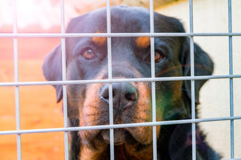Dog waiting behind wire netting, a labrador looks through a cage, a shelter for dogs, a sad labrador stock images