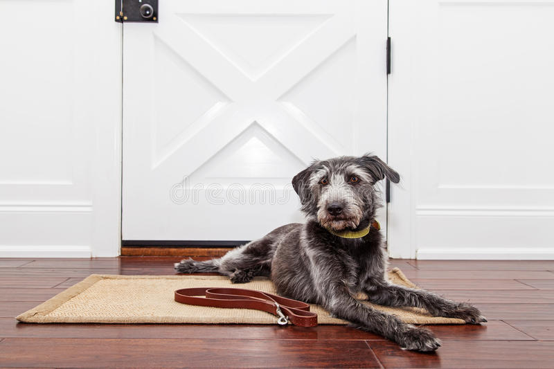 Dog Waiting By Door For Walk stock photo