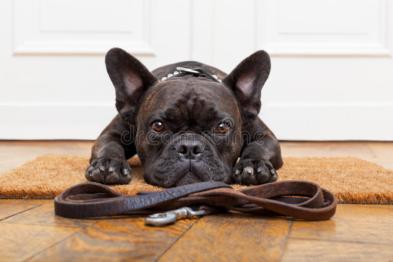 Dog waiting for walk. French bulldog dog waiting and begging to go for a walk with owner , sitting or lying on doormat