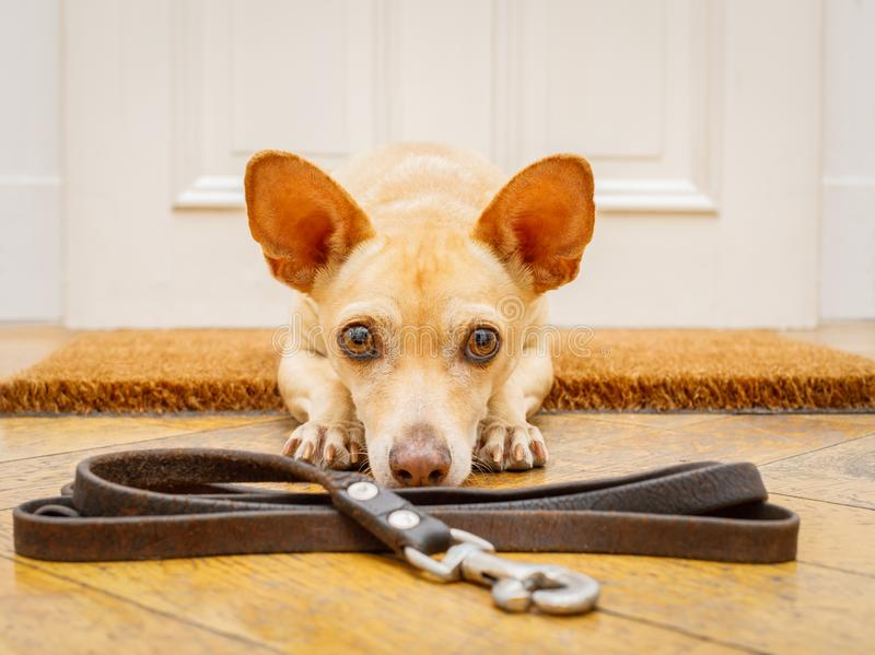 Dog waits at door for a walk royalty free stock photography
