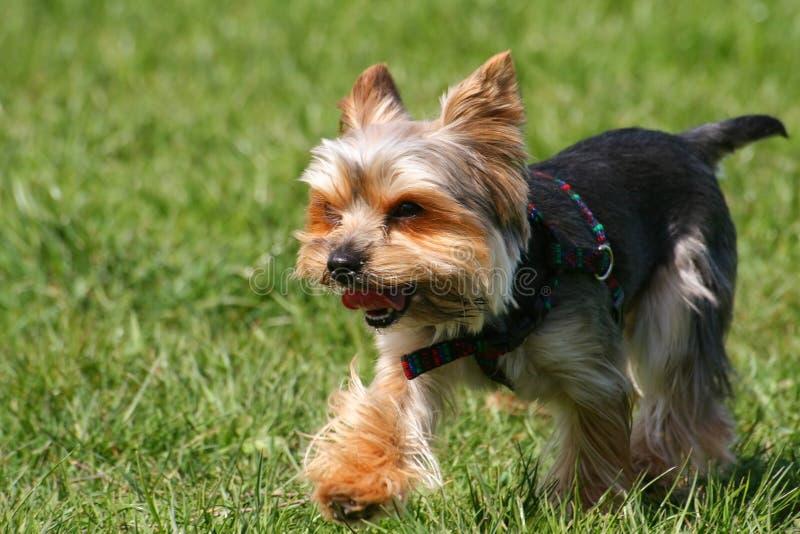 Dog On Walk Royalty Free Stock Photography
