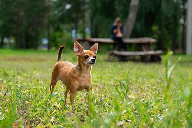 The dog on a walk royalty free stock images