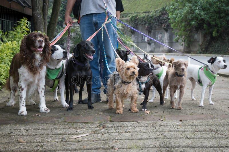 Dog Walker stock images