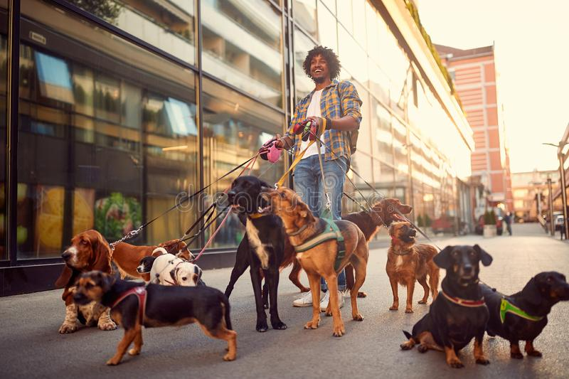 Dog walker man in the street with lots of dogs stock image