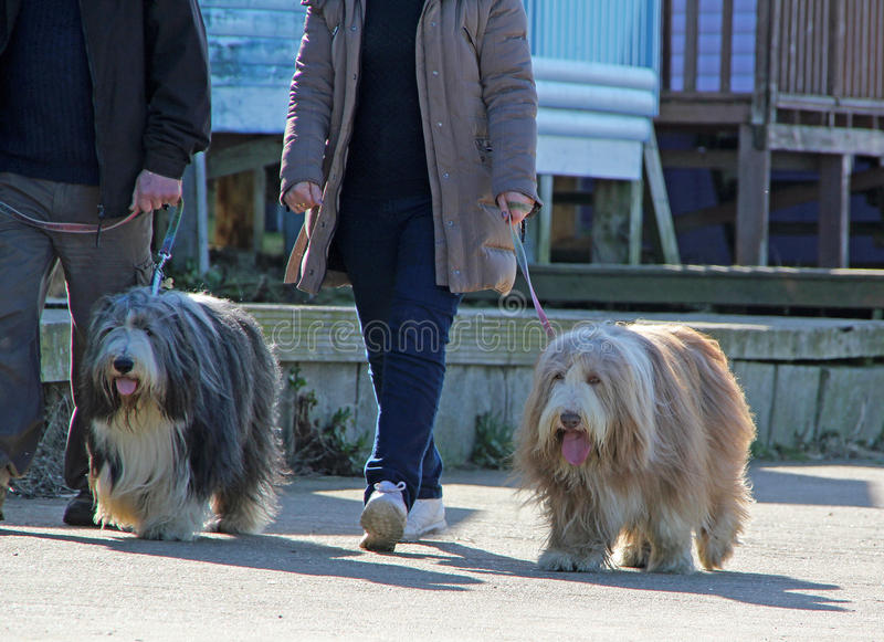 Dog walkers. Photo of dog walkers walking their pets along the coastal path and beach huts. march 2016 stock photo