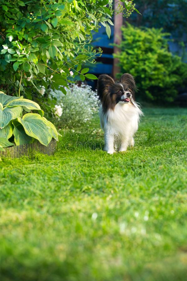 The dog is walking in the garden. Home pet, dog of the breed papillon in the garden royalty free stock images