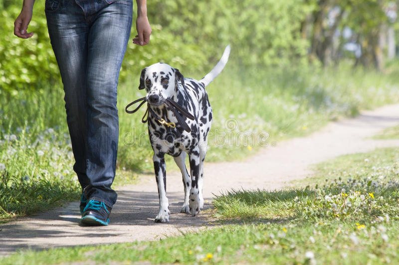Dog walking with the owner stock photo