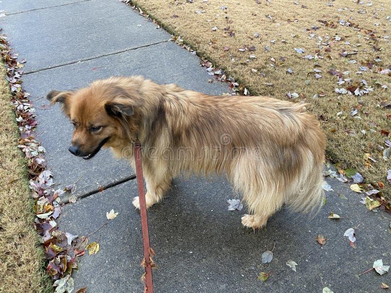 Dog Walking on Rainy Autumn Afternoon royalty free stock photography