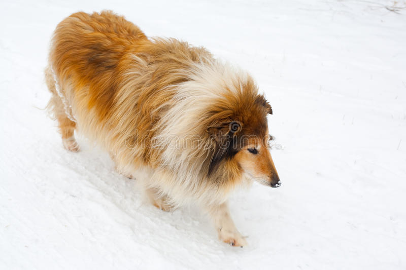 Download Dog walking in snow stock image. Image of snow, collie - 20138135
