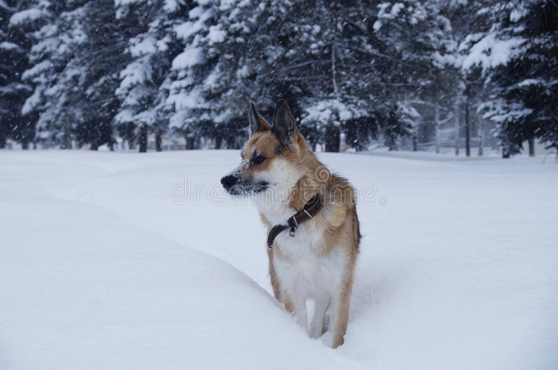 A dog is walking on a snow. Photo of a sheepdog that walks through a snow ina a park during a snowfall stock photo