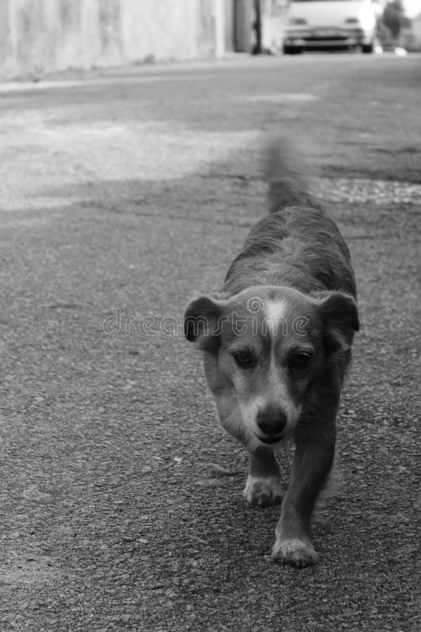 Dog walking on the street royalty free stock images