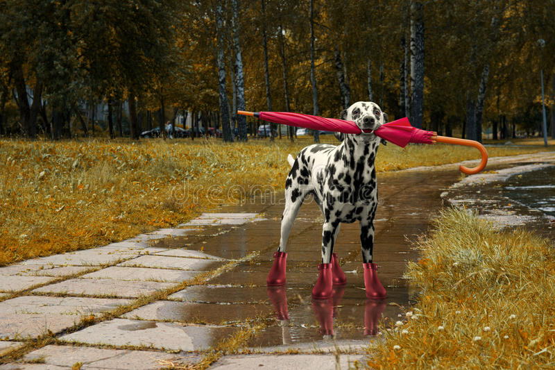Dog walking with umbrella after autumn rain stock photos
