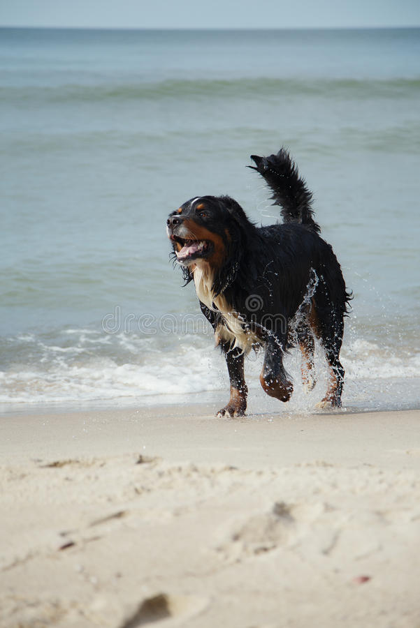 Dog Walks On Beach Stock Images