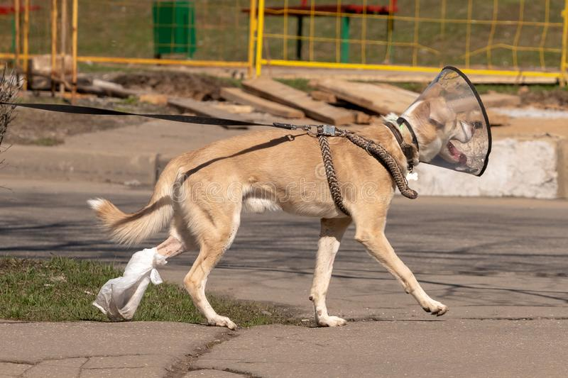 The dog walks down the street in a medical collar and tied his paw after surgery stock photos