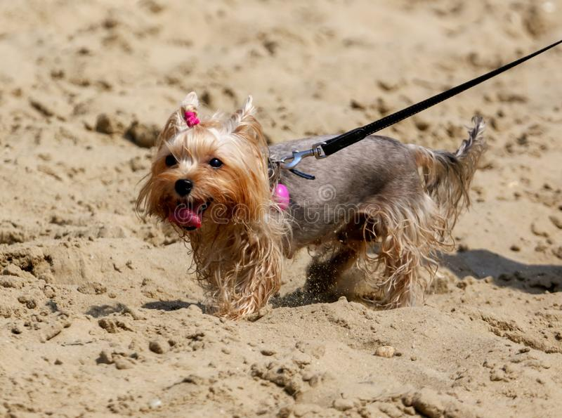 A dog walks on the sand along the beach on the beach royalty free stock image