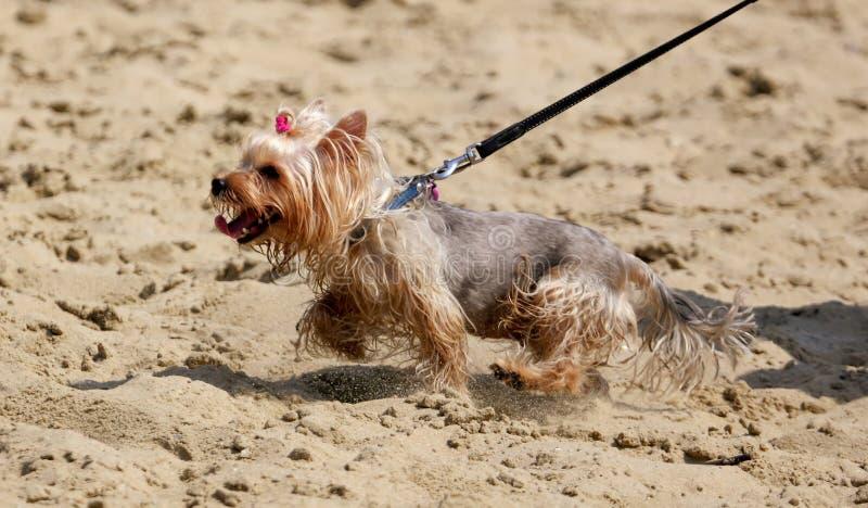A dog walks on the sand along the beach on the beach royalty free stock photography