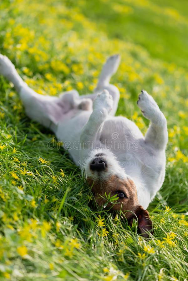 Dog wallowing on grass and scratching his back during spring allergies season stock images