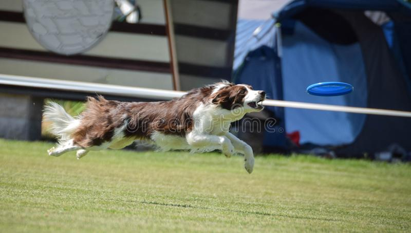 Red border collie on frisbee competition can fly. royalty free stock photo