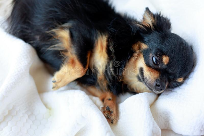 Dog want to sleep. Cute chihuahua dog want to sleep on white soft bed stock photography