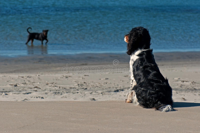 Dog watching bather dog. A English Cocker Spaniel sitting and watching a bather rottweiler on a beautiful beach by the sea