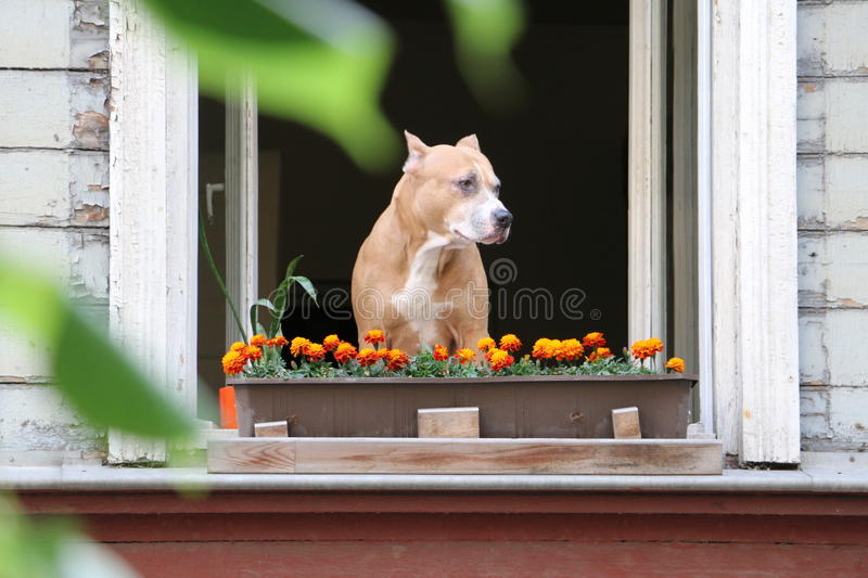 Dog watching from its apartment stock photo