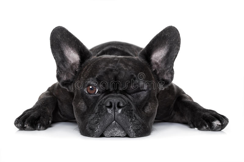 Dog watching at you royalty free stock photography