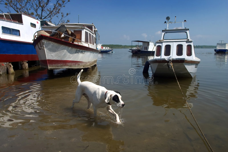 Dog in the water. Dog is walking in the river with boats in background royalty free stock photography