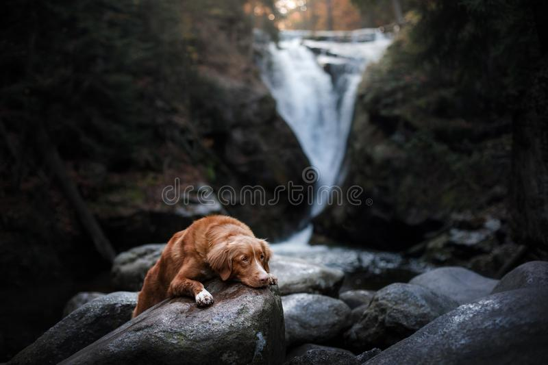 Dog by the waterfall. Pet on the nature by the water stock images