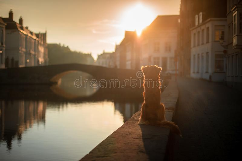 Dog on the waterfront at sunrise. Pet on nature. Nova Scotia Duck Tolling Retriever, Toller. Dog travel royalty free stock photography